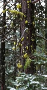 Letharia lichen on a tree. Photo by Sarah Burstein.