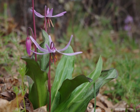 Henderson's Fawn Lily. Photo by Jenna Raino.