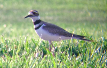 a Killdeer I photographed in Tennessee
