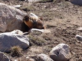 pic marmot