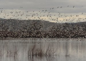 Flock_Klamath Basin_By John